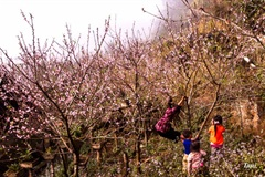 Wild peach blossoms brighten northwestern region